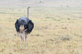 Wet male ostrich Royalty Free Stock Photo