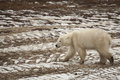 Wet muddy polar bear walking across snow laden tire tracks looking for food this with matted fur strolls the frozen tundra carved Royalty Free Stock Images