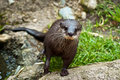 Wet otter outdoors. Royalty Free Stock Photography