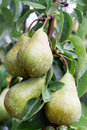 Wet pear on a tree Royalty Free Stock Photo