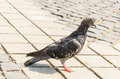 Wet pigeon a small chilled after taking a bath in the artesian well in central market sibiu Stock Images