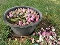 Wet Pink sacred lotus Royalty Free Stock Photo