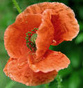 Wet poppy Royalty Free Stock Image
