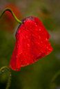 Wet poppy flower Royalty Free Stock Photo