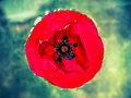 Wet poppy in the water. Royalty Free Stock Photo
