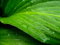 Wet Raindrop Green Leaves Closeup Dew Royalty Free Stock Photo