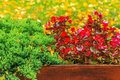 Wet red flowers and conifer in the box on a foliage background small decorative wooden from rain of yellow fallen leaves green Royalty Free Stock Images