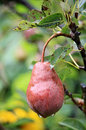 Wet red pear on the branch with leaves this photo shows Royalty Free Stock Image