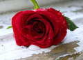 Wet red rose Royalty Free Stock Photo