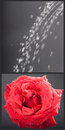 Wet rose Stock Photography