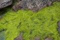 Wet Seaweed Royalty Free Stock Photo