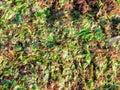 Wet seaweed background Royalty Free Stock Photo