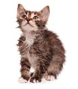 Wet shorthair kitten isolated white background Royalty Free Stock Photos
