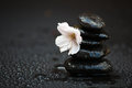 Wet stone stack with cherry blossom of black hot stones a Stock Image