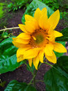 Wet sunflower with fresh yellow and green colors Stock Photography