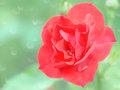 Wet tender red rose flower with rain drops stock photo selective soft focus shallow dof and blurred bokeh background Royalty Free Stock Image