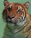 Wet tiger close up portrait of in water Stock Photo