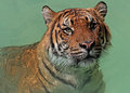 Wet tiger close up portrait of in water Royalty Free Stock Photos