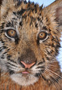 Wet tiger cub Stock Photos