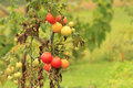 Wet tomatoes growing in garden Royalty Free Stock Photo