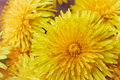 Wet yellow dandelion, closeup image Royalty Free Stock Photo