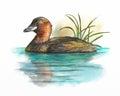 Wetlands birds, little grebe
