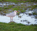 Wetlands seagull tern photo of bathing in puddle of water Stock Images