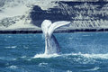 Whale calf tail, Argentina