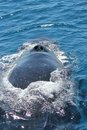 Whale nostrils a close up view of humpback blow holes Stock Photography