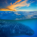 Whale shark below sunset and above and water Stock Images