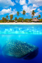 Whale shark below tropical island and above and water Stock Images