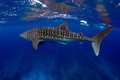 Whale Shark Blue water Royalty Free Stock Photo