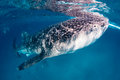 Whale shark at the surface large feeds near of ocean Royalty Free Stock Images