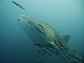 Whale shark swimming in blue water surrounded by fish south china sea thailand Stock Photo
