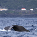 Whale watching Azores islands - sperm whale 03 Royalty Free Stock Photography