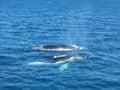 Whale watching whales floating effortless in oceanwaters Royalty Free Stock Image