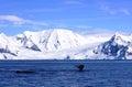 Whales along polar shores, Antarctica Royalty Free Stock Photo