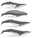 Whales illustrations of a minke whale gray whale sei whale and a fin whale Royalty Free Stock Photography