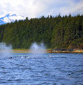 Whales spouting in alaska with mountains in the distance Royalty Free Stock Photo