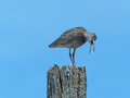 This is what i think of your idea willet shorebird on a post throwing up something Stock Photo