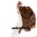 Whats up there english springer spaniel headshot looking Royalty Free Stock Photography
