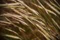 Wheat background Royalty Free Stock Photos