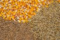 Wheat, barley and maize Royalty Free Stock Photo