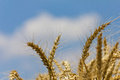 Wheat with blue cloudy sky Stock Photo