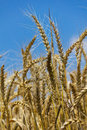 Wheat with blue cloudy sky Stock Images