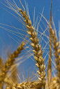 Wheat with blue cloudy sky Royalty Free Stock Image