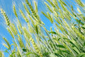 Wheat on blue saturated sky background field Stock Photography