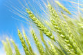 Wheat on blue saturated sky background field Stock Images