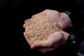 Wheat bran in peasant`s hands Royalty Free Stock Photo