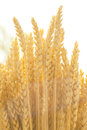 Wheat close up field for background Royalty Free Stock Images